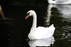 De mooie witte zwaan zwemt op de rivier royalty-vrije stock fotografie