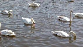 De mooie witte zwanen zwemmen op de rivier stock footage