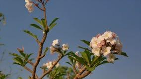 De mooie zachte roze plumeriaboom in de zonnige dag stock video
