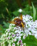 De mooie zitting van horzel mimische hoverfly op een witte bloem Royalty-vrije Stock Afbeeldingen
