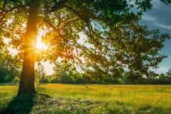 De mooie Zon die van de Zonsondergangzonsopgang door Eiken Boomtakken glanzen stock foto