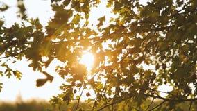De mooie Zon glanst door het blazen op de groene bladeren van de windboom stock video