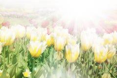 De mooie zonnige achtergrond van de bloemenzomer Stock Afbeeldingen