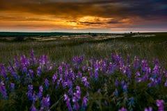 De mooie zonsondergang is in het gebied, de wilde bloemen en het gras, het zonlicht en de donkere wolken Royalty-vrije Stock Afbeelding