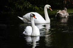 De mooie zwanen zwemmen langs de rivier stock foto