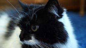 De mooie zwart-witte kat ligt op de vloer stock video