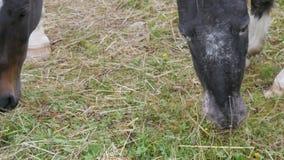 De mooie zwart-witte paarden weiden op een schilderachtige groene Oostenrijkse gazon dichte omhooggaande mening stock videobeelden