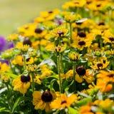 De mooie zwarte eyed bloemen van Susan in een tuin royalty-vrije stock foto's
