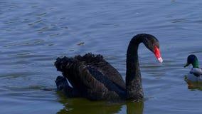 De mooie zwarte zwaan zwemt op een vijver - Kent, het Verenigd Koninkrijk - Februari 20, 2019 stock video