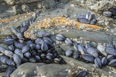 De mosselen klampen zich aan rotsen vast bij Porthcawl-strand Royalty-vrije Stock Afbeelding