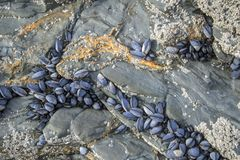 De mosselen klampen zich aan rotsen vast bij Porthcawl-strand Royalty-vrije Stock Foto