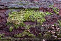 De mossen groeit op vochtig hout in regenachtig seizoen royalty-vrije stock fotografie
