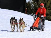 De internationale honden van de rasslee, Mossen, Zwitserland Stock Fotografie