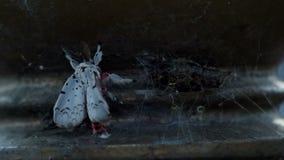 De mot breidt vleugels na uit te voorschijn komt uit cocon stock footage