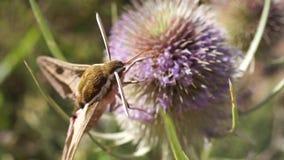 De mot die nectar halen uit een distel aan het eind het vliegt weg stock video