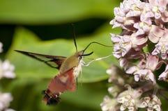 De Mot van Clearwing van de kolibrie Royalty-vrije Stock Afbeelding