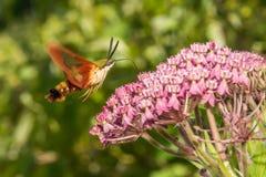 De Mot van Clearwing van de kolibrie Stock Foto