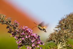 De mot van de kolibriehavik terwijl het voeden op bloemen Stock Afbeeldingen