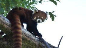 De motie van rode panda let op mensen op de boom stock video