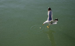 De mouette contact presque l'eau bleu-vert chez la Mer Noire Photos libres de droits