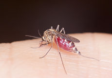 De mug zuigt bloed Stock Afbeelding