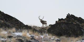De Muilezelherten van Utah royalty-vrije stock foto