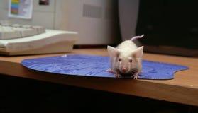 De muis bij de computer, op het muis-stootkussen Royalty-vrije Stock Afbeelding