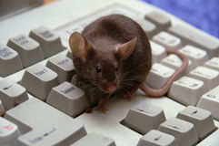 De muis bij de computer, op het toetsenbord stock afbeelding