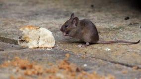 De muis die een scone eten tuiniert binnenshuis stock video