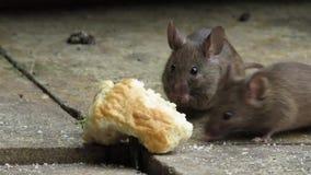 De muis die een scone eten tuiniert binnenshuis stock videobeelden