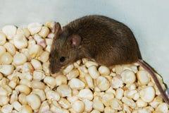 De muis (klein knaagdier) zit op korrels (zaden) van graan Royalty-vrije Stock Foto