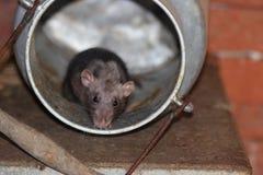 De muis in melk kan in slechte mergentheiim royalty-vrije stock foto's