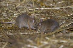 De muis van het huis, musculusdomesticus Royalty-vrije Stock Foto