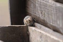 De muis van het huis, musculusdomesticus Stock Foto's