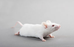 De muis van het laboratorium Stock Foto's
