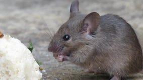 De muizen die een scone eten tuinieren binnenshuis stock footage