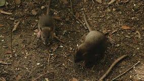 De muizen eten korrel stock video