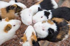 De muizen van het huisdier royalty-vrije stock foto