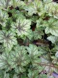 De multi gekleurde bladeren van koraalklokken stock afbeeldingen
