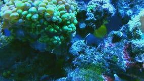 De multi gekleurde tropische vissen zwemmen in koralen van aquarium dichte omhooggaand