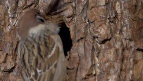 De mus bouwt het nest stock videobeelden