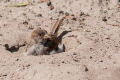 De mus die van het huis een zandbad neemt royalty-vrije stock afbeeldingen