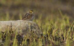 De Mus van de savanne Stock Foto