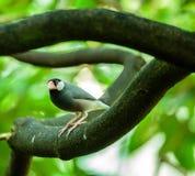 De mus van Java op een tak Royalty-vrije Stock Foto