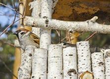 De mus zit in een ongebruikelijke de vogelvoeder van het berktakje royalty-vrije stock foto