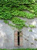 De muur en het blind van de klimop Stock Fotografie