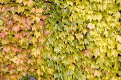 De muur van de druif Royalty-vrije Stock Foto's