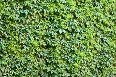 De muur van de klimop. Royalty-vrije Stock Afbeelding