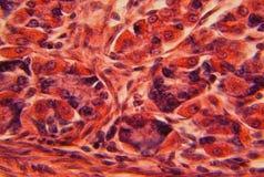 De muur van de maag onder een microscoop Royalty-vrije Stock Afbeeldingen