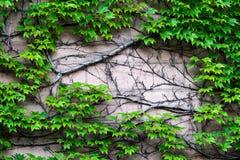 De muur waarop de wilde druiven uit met een massieve boomstam uitspreiden royalty-vrije stock foto's